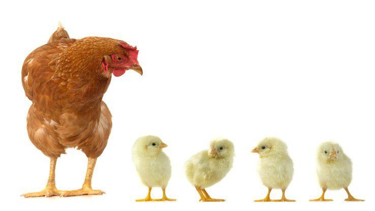 Gute Ergebnisse durch sorgfältiges Brüten: Anders als bei Hühnern sollte das im Mittelstand allerdings idealerweise in (Innovations-)Brutkästen stattfinden.