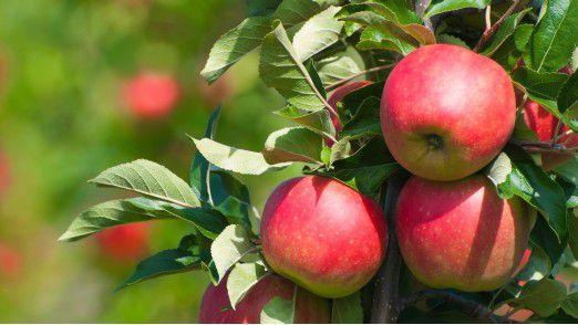 Edeka produziert seinen eigenen Fruchtsaft aus Äpfeln von der eigenen Obstplantage.