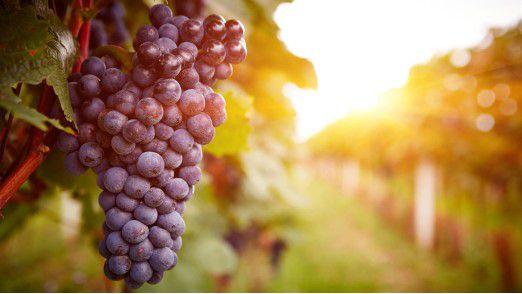 Weinrebe: In Weinanbaugebieten hält die Digitalisierung Einzug.