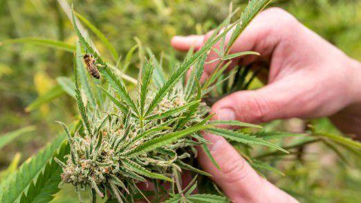 Cannabis: Brauereien und Spirituosenkonzerne in den USA entdecken neben Alkohol eine neue Droge für sich.