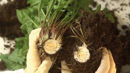 Kautschuk aus der Löwenzahn-Wurzel stellt eine ökologisch wie ökonomisch attraktive Alternative zum tropischen Kautschukbaum dar.