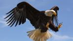 Tierische Abwehrmethode: Adler fängt Drohnen ab - Foto: Colin Edwards Wildside / shutterstock.com