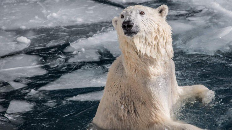 Eisbären sind zum Sinnbild des Klimawandels geworden. Drei Kölner Schulklassen verfolgten per Smartphone-App ihr Verhalten in Sachen Energieverbrauch. Je mehr gespart wurde, umso glücklicher war der Eisbär. Aber wehe, jemand hatte vergessen, das Licht auszumachen.