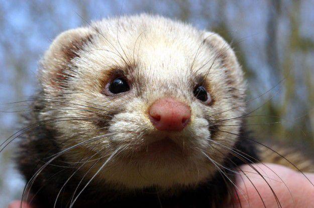 Dieses namenlose Bio-Frettchen wohnt im Tierpark Wolgast und gilt als neugierig.